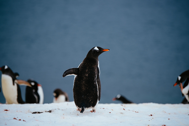 Gentoo penguin who looks like he's hitchhiking