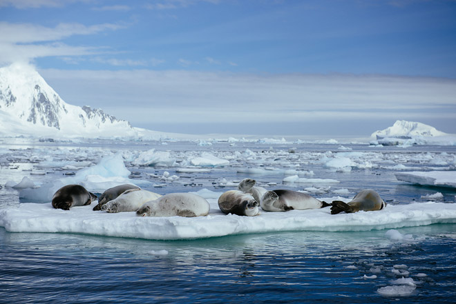A bunch of crabeater seals on iceberg in Antarctica